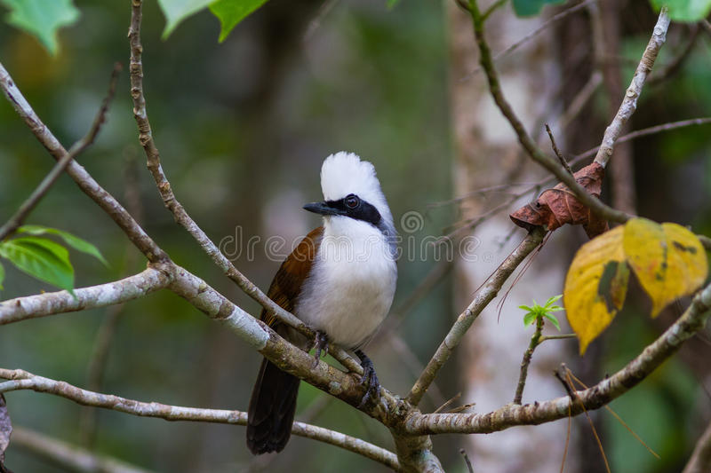 Beautiful white-crested laughingthrush (Garrulax leucolophus) po. Ssing on branch in Nam Nao national park , Thailand royalty free stock photography