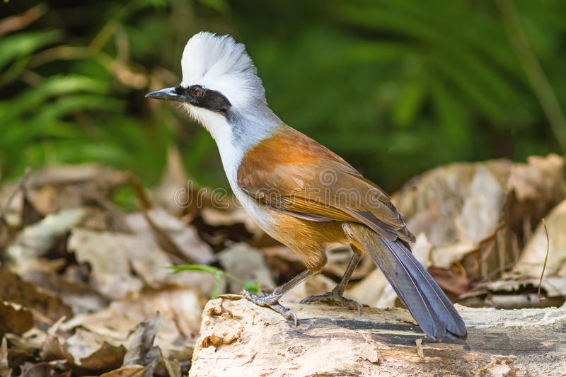 Beautiful white-crested laughingthrush (Garrulax leucolophus) po. Ssing on branch in Nam Nao national park , Thailand stock images