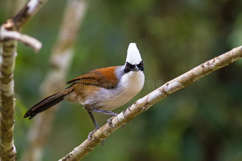 Beautiful white-crested laughingthrush (Garrulax leucolophus) po. Ssing on branch in Nam Nao national park , Thailand royalty free stock photos