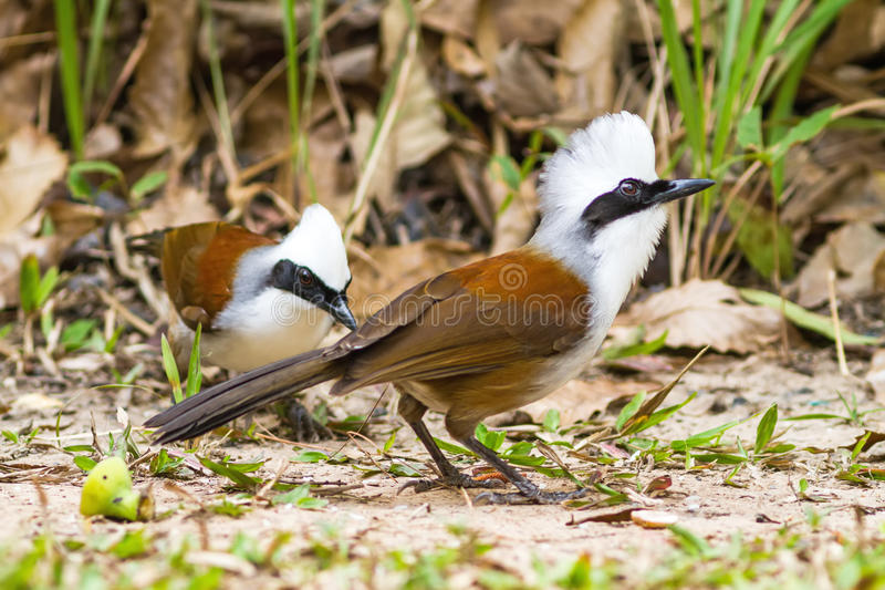 Beautiful white-crested laughingthrush (Garrulax leucolophus) po. Ssing on eating rice on grass at Nam Nao national park , Thailand stock photography