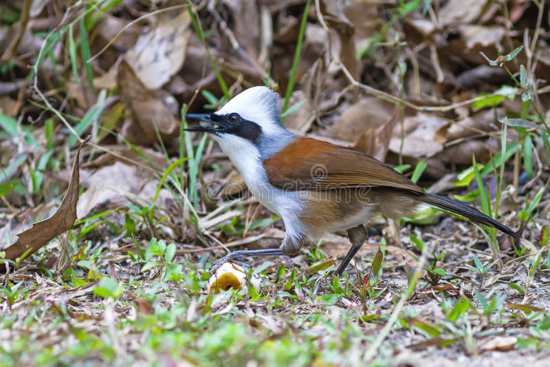 Beautiful white-crested laughingthrush (Garrulax leucolophus). Possing on eating banana on grass at Nam Nao national park , Thailand stock image