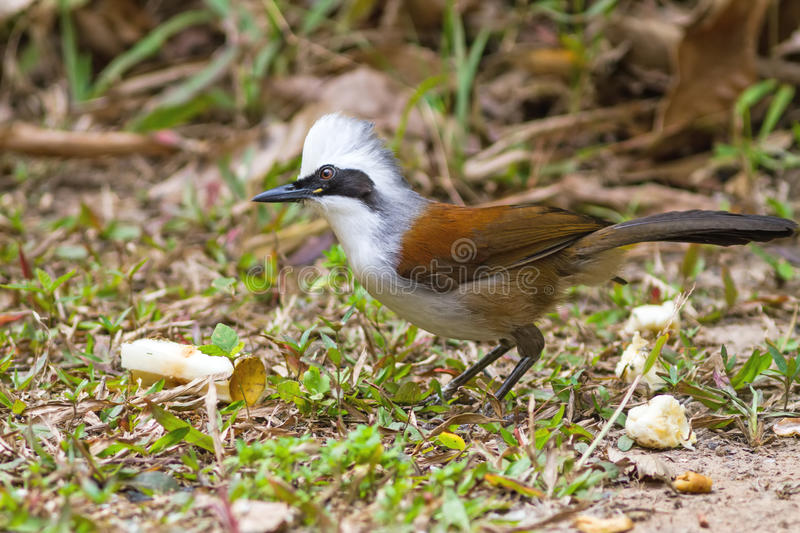 Beautiful white-crested laughingthrush (Garrulax leucolophus). Possing on eating rice on grass at Nam Nao national park , Thailand stock images