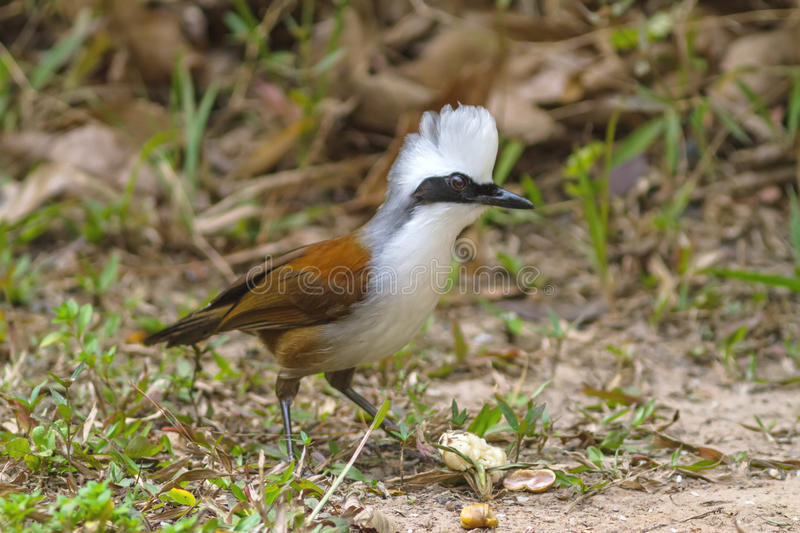 Beautiful white-crested laughingthrush (Garrulax leucolophus). Possing on eating rice on grass at Nam Nao national park , Thailand royalty free stock photos