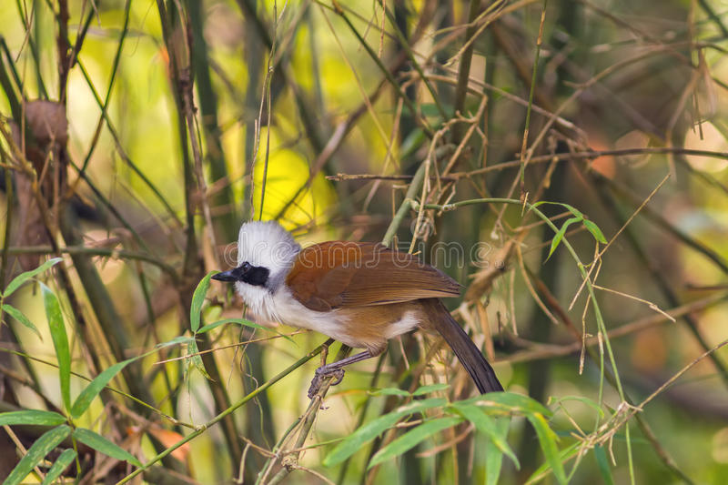 Beautiful white-crested laughingthrush (Garrulax leucolophus). Possing on tree in Nam Nao national park , Thailand royalty free stock images
