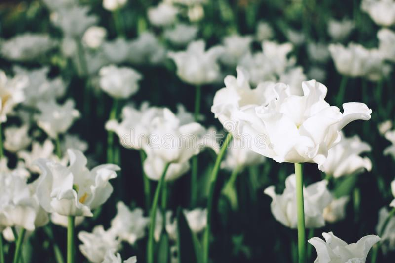 Beautiful white Curly wavy tulips flowerbed closeup. White tulips in the spring garden, group of flowers pure white with sunlight royalty free stock photo