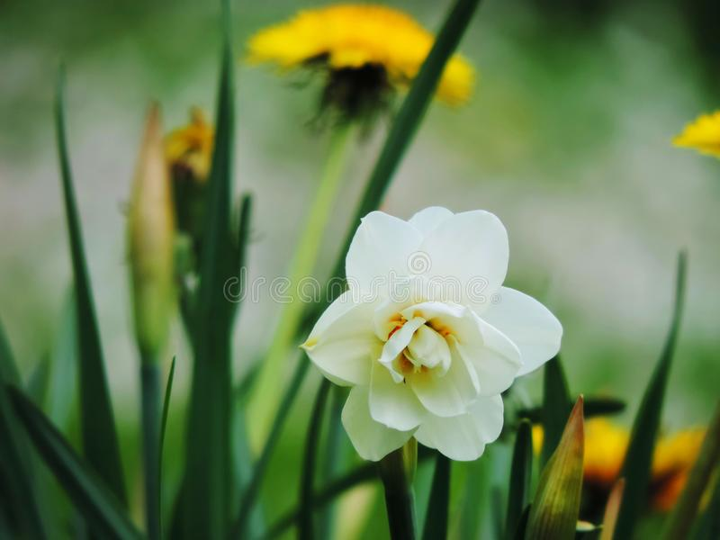 White daffodil narcissus and dandelion flowers. Beautiful white daffodil narcissus and dandelions flowers leaves estonia europe hermosa flor narciso blanca and royalty free stock images