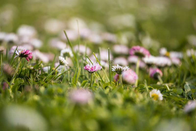 Beautiful white daisies blooming in the grass. Summer scenery in garden and park. royalty free stock photos
