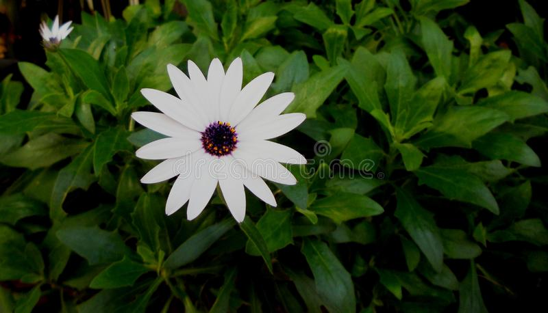 The beautiful white daisy stock image
