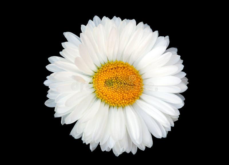 Beautiful white daisy. Isolated on black background stock photography