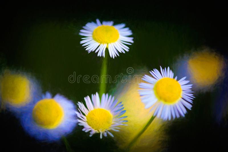 Beautiful white daisy is blooming. In sping time in open air stock photo