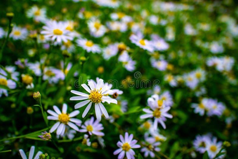 Beautiful white daisy flowers field in the garden stock photos