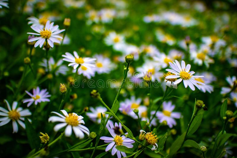 Beautiful white daisy flowers field in the garden royalty free stock images