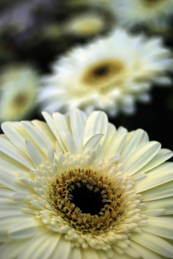 Beautiful white daisy gerbera flower   selective  focus stock image