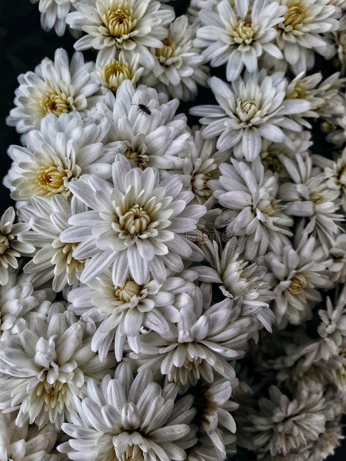 Beautiful white daisy stock photography