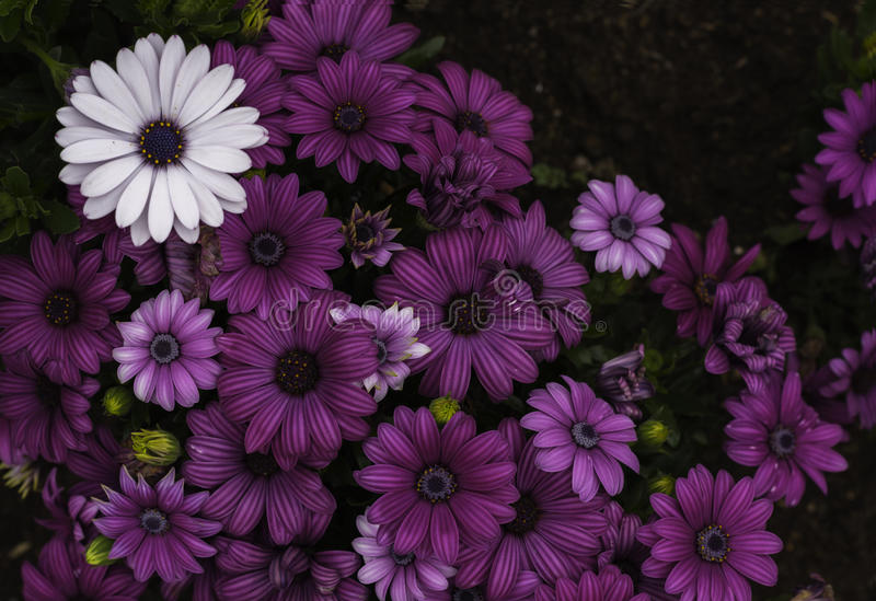 A beautiful white daisy surrounded by purple daisies royalty free stock photos