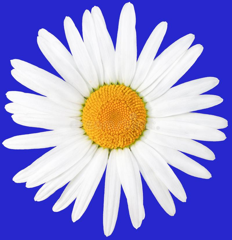 Beautiful white daisy with a yellow center. Latin name anthemis nobilis. Isolate on blue royalty free stock photography