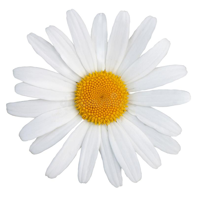Beautiful white daisy with a yellow center. The Latin name is anthemis nobilis. Isolate on white royalty free stock image