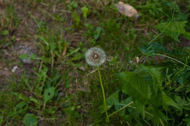 Beautiful white dandelion in green grass in nature royalty free stock photography