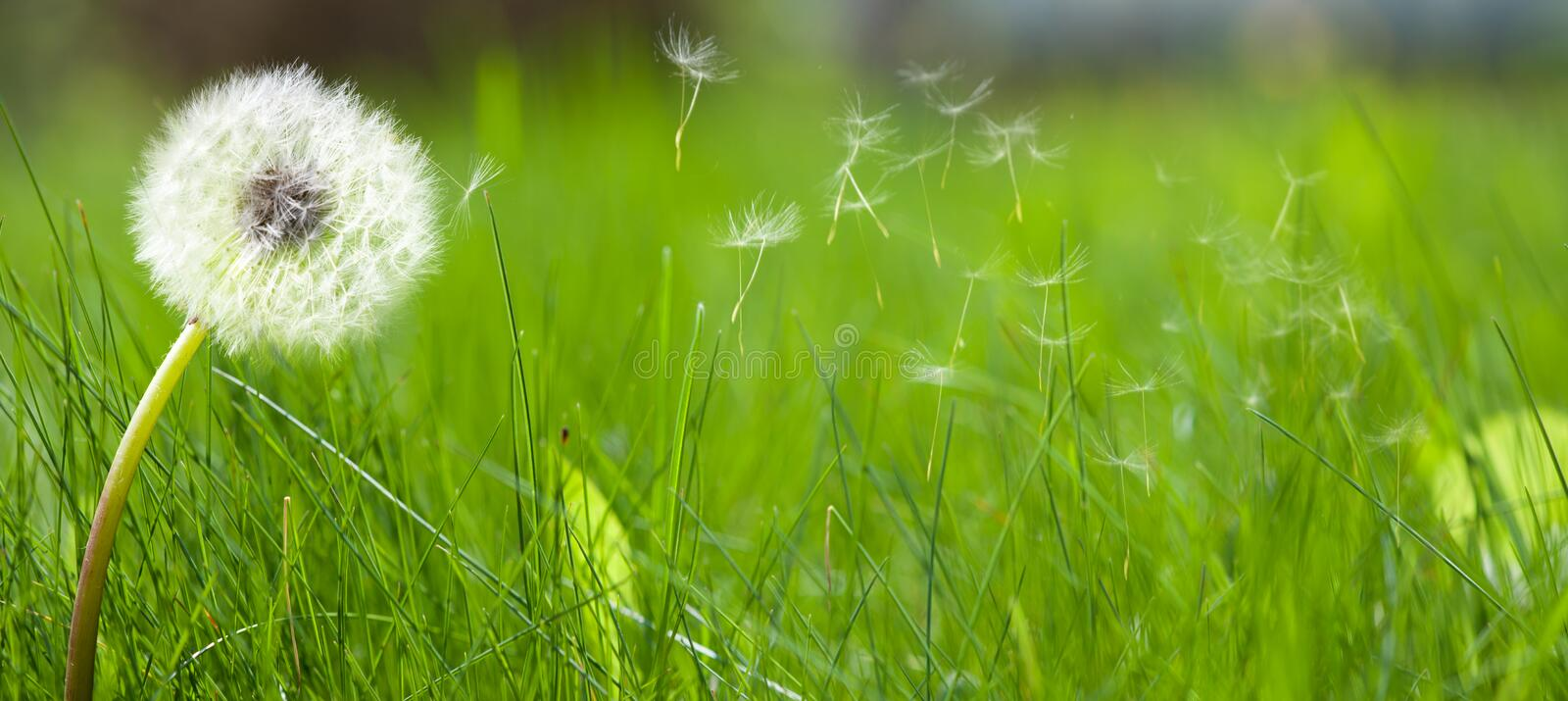 Beautiful white dandelion on a lawn. With fresh green spring grass stock photography