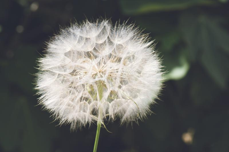 Beautiful white dandelion on a lawn. Dandelion seeds close up in blue background. Beautiful white dandelion on a lawn royalty free stock photo