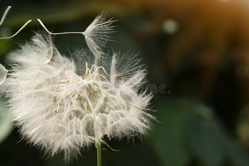 Beautiful white dandelion on a lawn. Dandelion seeds close up blowing in green background. Beautiful white dandelion on a lawn stock photo