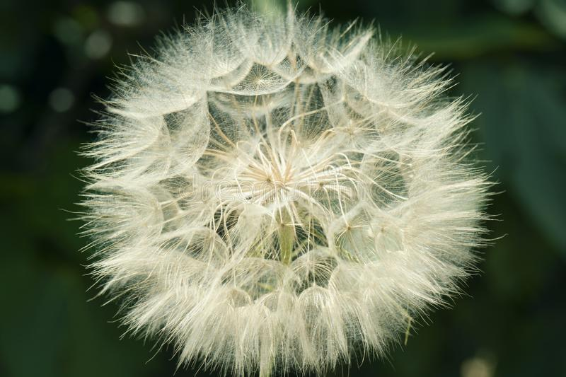 Beautiful white dandelion on a lawn. Dandelion seeds close up in blur bokeh background. Beautiful white dandelion on a lawn stock photography