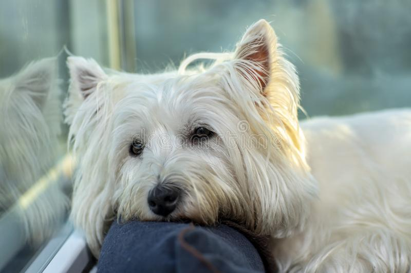 Beautiful white dog resting. Westie Terrier dog. City of unfocused background royalty free stock photo