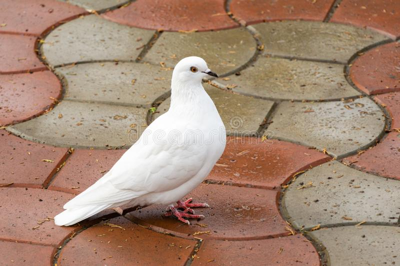 Beautiful white dove, dove of peace, on the wet road. Domestic pigeon Columba livia domestica stock photography