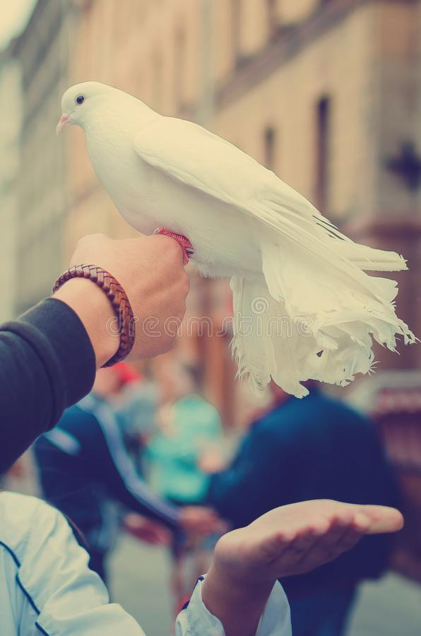 A beautiful white dove sits on the arm of a man. royalty free stock image
