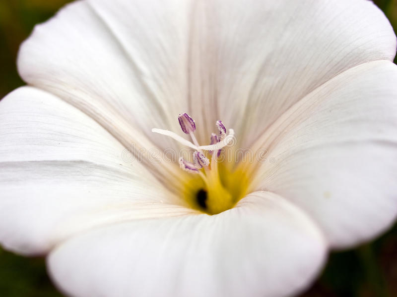 Download Beautiful White Easter Lily Stock Photo - Image of freshness, celebration: 11960298