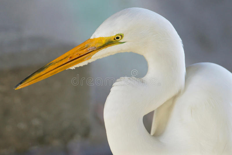 Download Great White Egret stock photo. Image of animal, fauna - 29821672