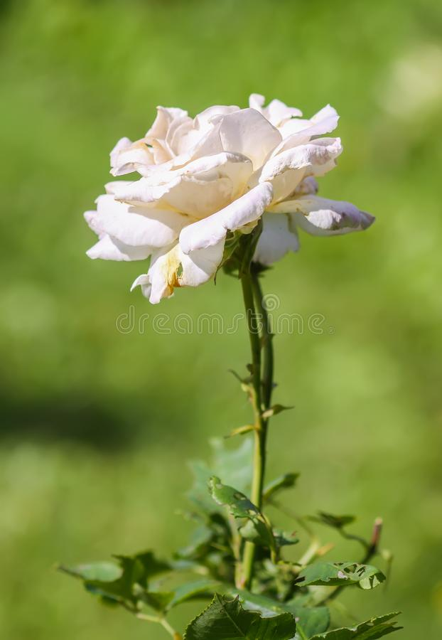 Beautiful white Rose flower growing in summer park on nature background. royalty free stock photos