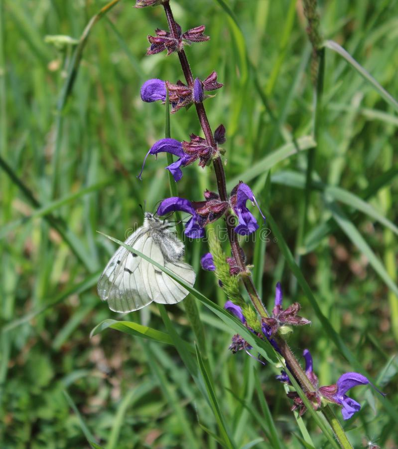 Beautiful white field-flower with butterfly royalty free stock photography