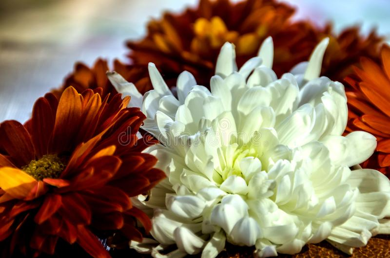 Beautiful white flower against other flowers. Beautiful white flower on the background of orange flowers stock photography