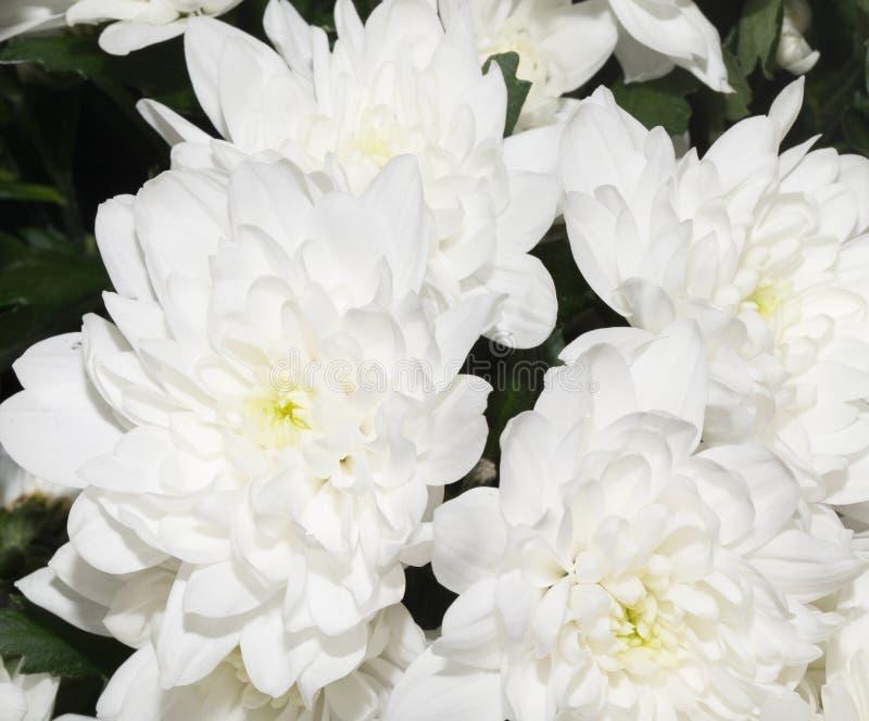 Beautiful white flower royalty free stock photo