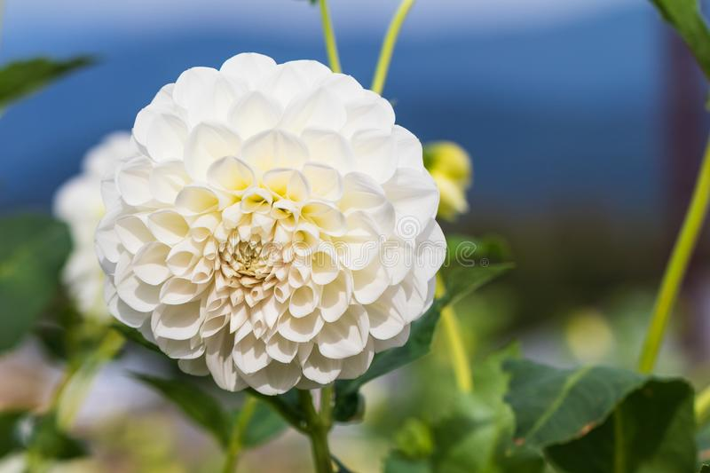 Beautiful white flower blooming in spring day by Macro lens.  royalty free stock image