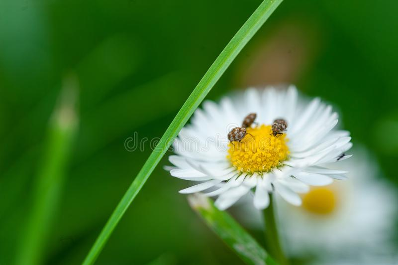 Beautiful white flower with bugs in green grass. Flower in nature royalty free stock images