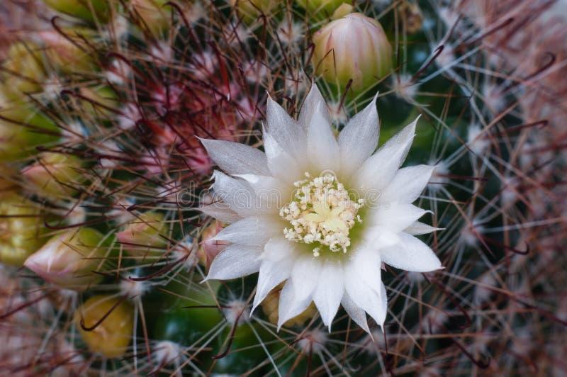 Beautiful white flower cactus stock photo