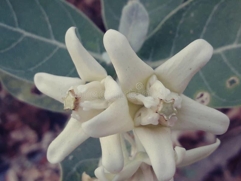 Beautiful white flower, Crown Flower stock photo