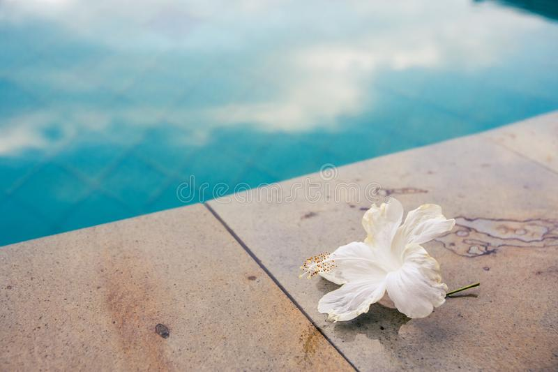 A beautiful white flower at the edge of a pool with contrasting cool and warm colors stock photos
