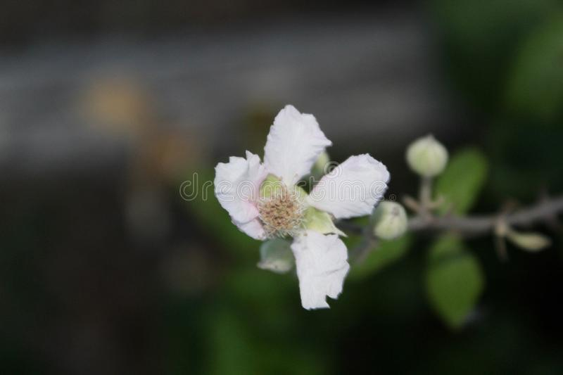 The beautiful white flower in the field. This photo is made in a field near Greve in Chianti, Tuscany, Italy stock image