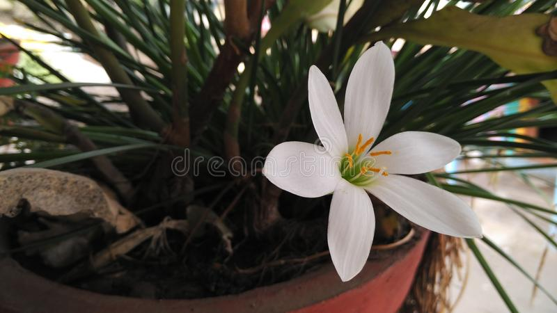 Beautiful white flower royalty free stock photo