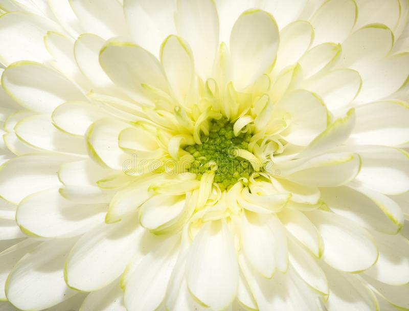 Beautiful white flower royalty free stock photography