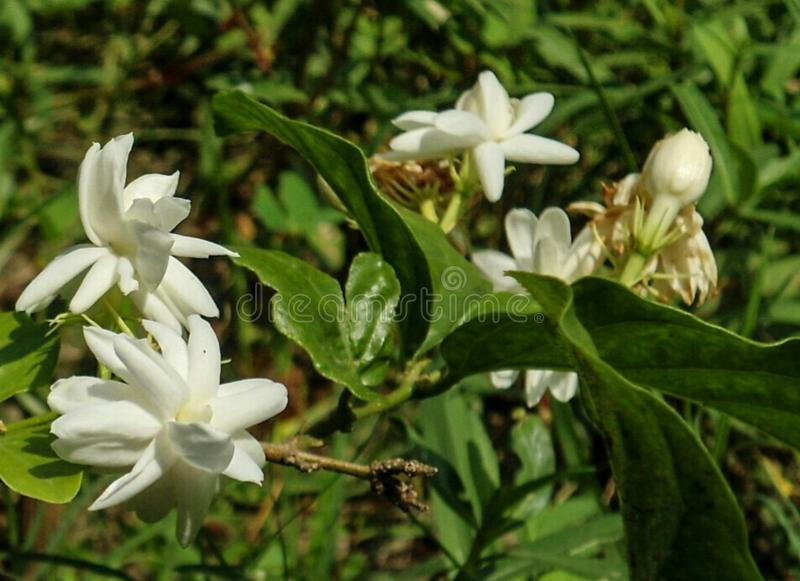 Beautiful white flower royalty free stock image