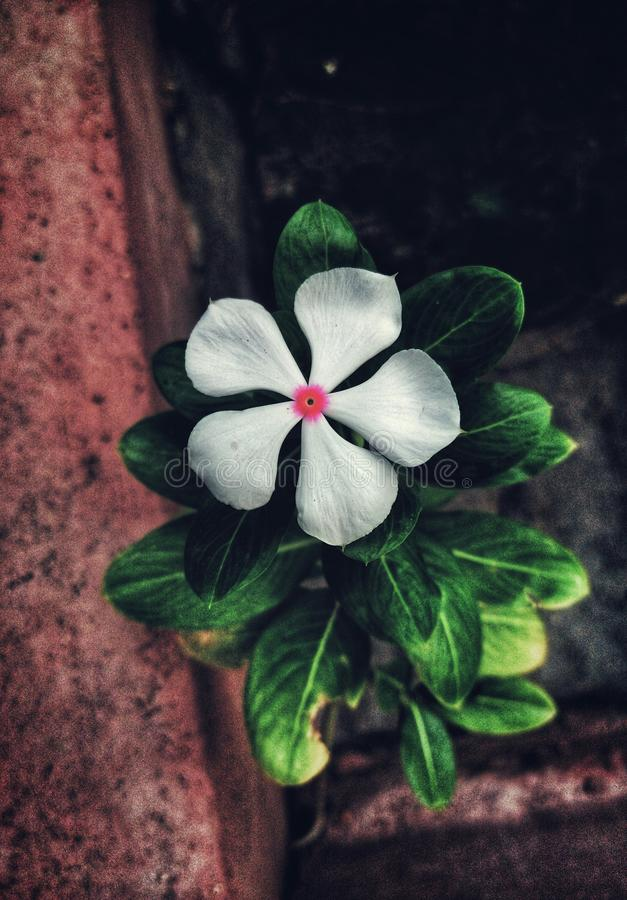 A closeup shot of a beautiful white flower. A beautiful white flower in a plant next to a old rusty wall looks artistically stock images