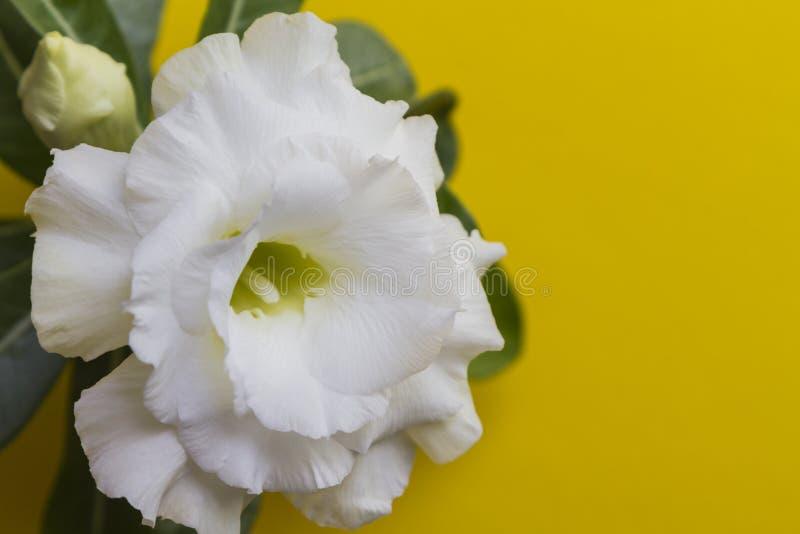 Beautiful white flower rose or adenium on yellow background stock photo