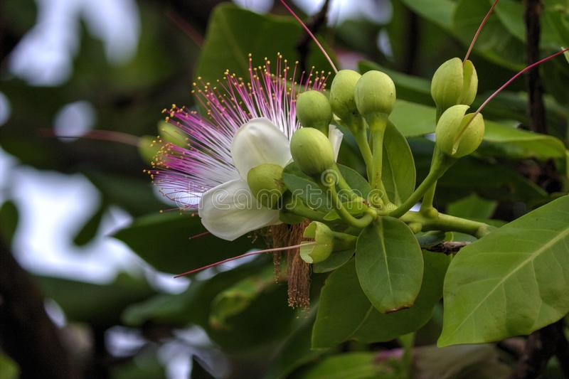 A beautiful White flower on a tree. Beautiful White flower at the top of the tree stock image