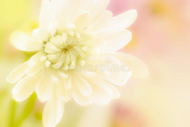 A beautiful white flower on a yellow and pink blurred background royalty free stock photography