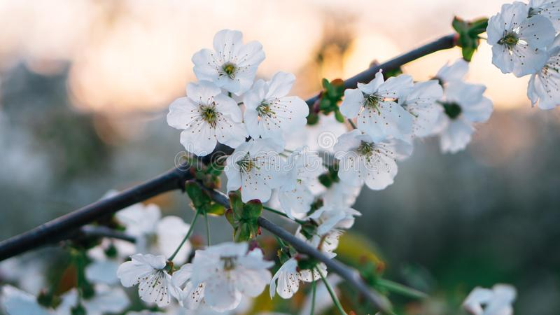Beautiful white flowering trees with blooming flowers in spring. Day. Background with sunset royalty free stock photo