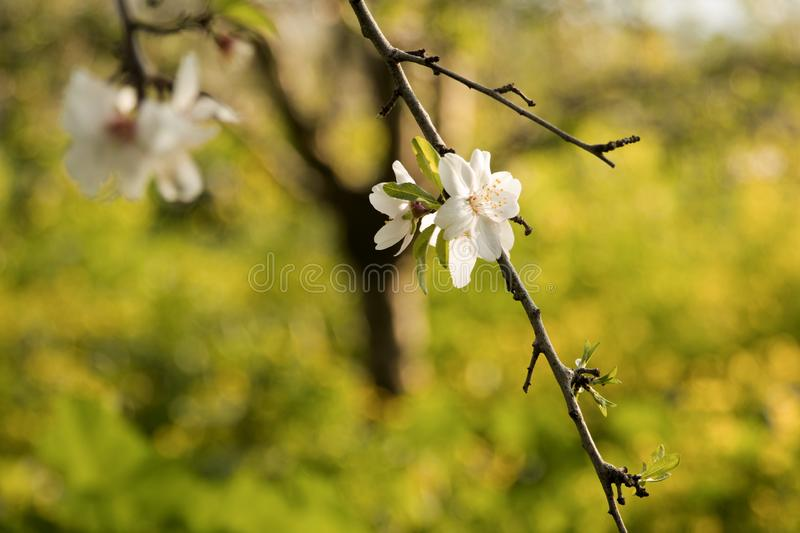Beautiful white flowers of almond royalty free stock images